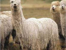 What is de difference betweer a llama and an alpaca